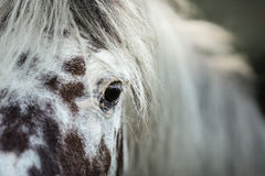 White spotted horse portrait Stock Photos
