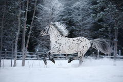White spotted horse portrait, walk on the paddock Stock Photo