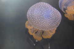 White spotted jellies Stock Photo