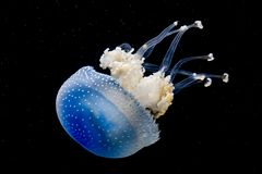 A white spotted jellyfish in an aquarium. A white spotted jellyfish Phyllorhiza punctata in an aquarium, black background royalty free stock photo