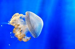 White spotted jellyfish Floating bell Australian spotted jellyfish medusa deep blue underwater background Royalty Free Stock Images