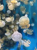 White spotted jellyfish. Monterrey bay aquarium jelly experience Stock Photo