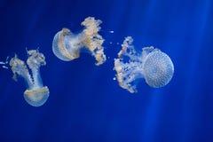 White-spotted jellyfish (Phyllorhiza punctata). Stock Photo
