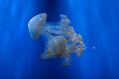 White-spotted jellyfish (Phyllorhiza punctata). Royalty Free Stock Images