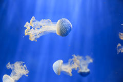 White-spotted jellyfish Phyllorhiza punctata. In an aquarium on a blue background Royalty Free Stock Photo