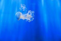 White-spotted jellyfish Phyllorhiza punctata Royalty Free Stock Images