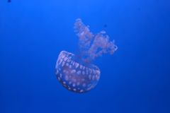 White-spotted jellyfish Royalty Free Stock Photo