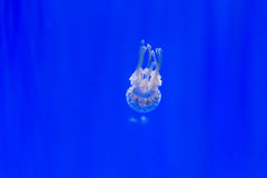 White spotted jellyfish. Swimming downwards Stock Images