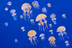 White-Spotted Jellyfishes Royalty Free Stock Photo