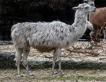White spotted llama 1 stock photography