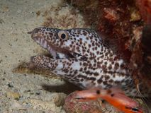White Spotted Moray 02 Stock Image