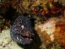 White Spotted Moray Stock Photography
