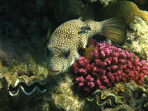 White-spotted puffer Royalty Free Stock Photos