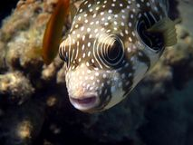 White-spotted puffer (Arothron hispidus). White-spotted puffer kisses a coral. Red Sea Stock Photo