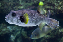 Free White-spotted Puffer Arothron Hispidus. Royalty Free Stock Photography - 86917317