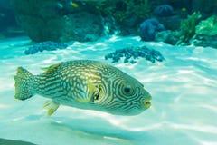 White-Spotted puffer, Arothron Hispidus, aquarium fish. In underwater Stock Image