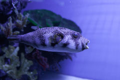White-spotted puffer. Arothron hispidus. White-spotted puffer fish close up . Arothron hispidus Royalty Free Stock Images