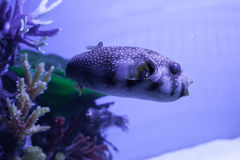 White-spotted puffer. Arothron hispidus. White-spotted puffer fish close up . Arothron hispidus Stock Photography