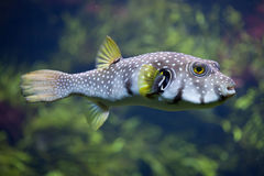 White-spotted puffer Arothron hispidus Royalty Free Stock Image