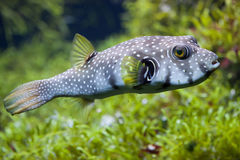 White-spotted puffer Arothron hispidus Stock Images