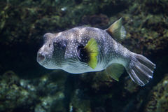 White-spotted puffer Arothron hispidus. Marine fish Royalty Free Stock Image