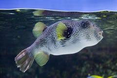 White-spotted puffer Arothron hispidus. Marine fish Royalty Free Stock Photo