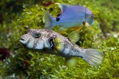 White-spotted puffer Arothron hispidus. Marine fish Stock Photography