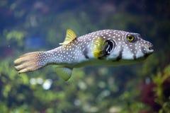 White-spotted puffer Arothron hispidus. Marine fish Stock Images