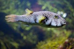 White-spotted puffer Arothron hispidus. Marine fish Royalty Free Stock Photos