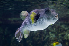 White-spotted puffer Arothron hispidus. Royalty Free Stock Photography