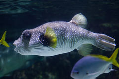 White-spotted puffer Arothron hispidus. Marine fish Royalty Free Stock Photography