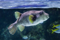 White-spotted puffer Arothron hispidus. Marine fish Royalty Free Stock Images