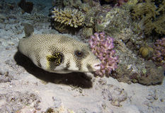 White-spotted Puffer. Arothron hispidus, red sea Egypt Royalty Free Stock Images