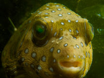 White spotted puffer Stock Image