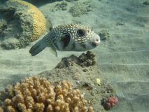 White-spotted puffer fish (arothron hispidus). The white-spotted puffer, Arothron hispidus, is a medium sized puffer fish, light grey in color with small white Stock Photography