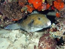 White Spotted Puffer Fish (Arothron hispidus) stock photo
