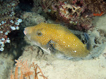 White Spotted Puffer Fish (Arothron hispidus) royalty free stock photos