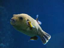 White spotted puffer Royalty Free Stock Photos