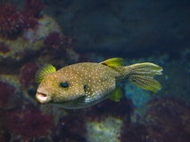 White spotted puffer fish Stock Image