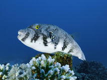 White-spotted puffer fish on corals. White-spotted puffer fish resting on corals on a coral reef Royalty Free Stock Images