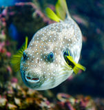 White-spotted puffer Stock Photography