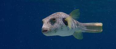 White-spotted puffer. Arothron hispidus swims in the blue water and looks into the camera, WAKATOBI, Indonesia, slow motion Royalty Free Stock Photo