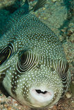White spotted pufferfish Royalty Free Stock Images