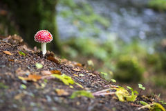 White-spotted red toadstool Royalty Free Stock Photos