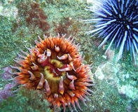 White-Spotted Rose Anemone and Purple Sea Urchin. Found off of central California's Channel Islands Stock Photo