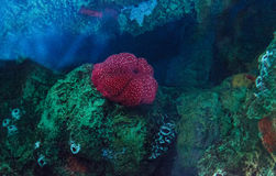 White spotted rose anemone Urticina lofotensis Stock Photo