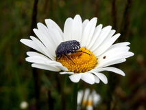 White-spotted Rose Beetle Royalty Free Stock Image