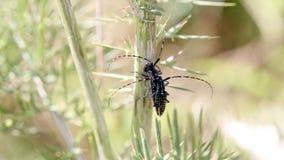 White-spotted sawyer beetles Monochamus scutellatus feeding on a green branch in nature stock video