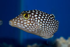 White Spotted Sharpnose Puffer Royalty Free Stock Photography