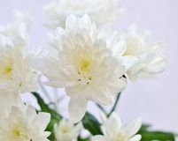 White spray chrysanthemums. Compositae flowers Stock Images